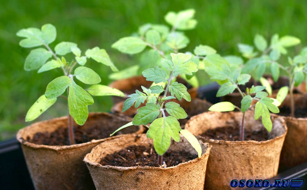 Семена на рассаду для продажи
